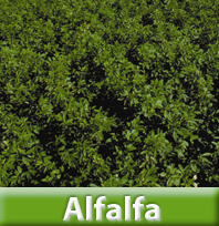 Hibridos de Alfalfa