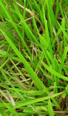 Grasses forage