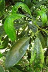 Foliares