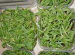 Plantas ex-agar