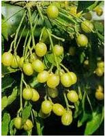 Arbol de neem