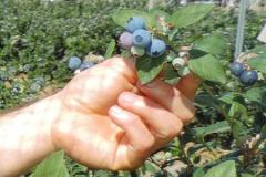 Blueberry mora azul