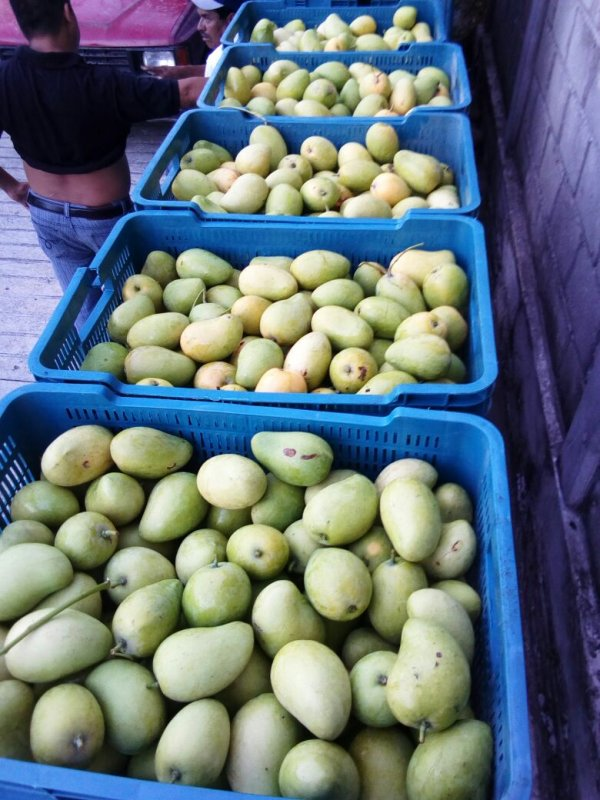mango_ataulfo_mango_manilia_mango_tomi_mango