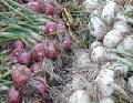 Cebollas Blancas.
