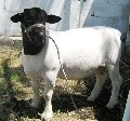Producción de carne ovina