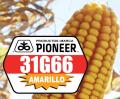 Semillas de maíz amarillo Pioneer