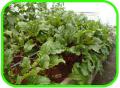 Cultivo Semihidroponico