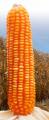 Híbrido de maíz amarillo