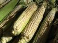 Semillas de maíz CEBU