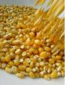 Semillas de maíz BISONTE