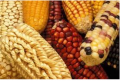 Semillas de maíz KILATE