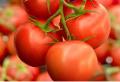 Tomate TOV