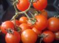 Tomates mini