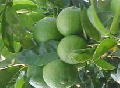 Limon Persa sin semillas.