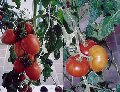 Cultivos Hidropónicos.
