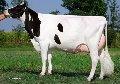 Toros Holstein.