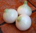 Cebolla blanca. Azteca.